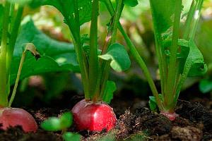 Beneficios de las hojas de Rabano
