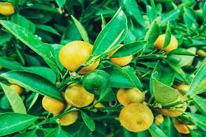 Ahorra Dinero, Cultiva tus Propios limones te Decimos Como