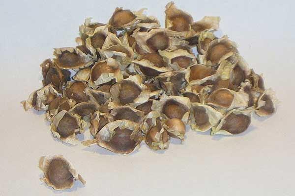para-que-sirven-las-semillas-de-moringa